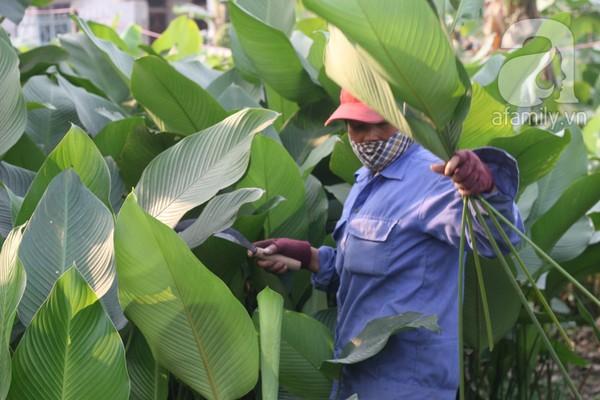 Về nơi hiếm hoi ở Hà Nội trồng lá dong gói bánh chưng kiếm cả trăm triệu dịp Tết 4