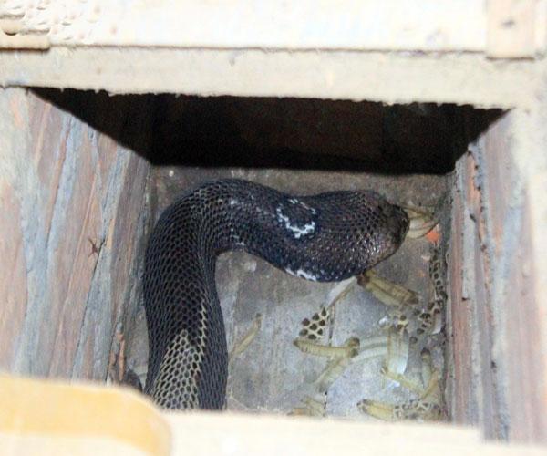 Một con rắn hồ mang bành đang lột da trong những ngày đông giá lạnh. Mỗi con rắn hổ mang bành có trọng lượng lên đến 3 - 4kg này nếu sổng ra sẽ là mối nguy hiểm cực lớn với người dân. Mỗi quả trứng rắn có giá bán lên đến 270.000 đồng - 300.000 đồng.