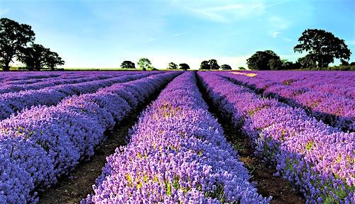 Cánh đồng hoa oải hương vào tháng 7, tháng 8 ở Provence (Pháp). Sắc tím rực rỡ, hương thơm quyến rũ của oải hương kết hợp với khí hậu trong lành, nắng ấm tuyệt vời khiến nơi đây trở thành một trong những điểm du lịch hấp dẫn nhất của Pháp.