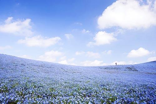 Ghé thăm vườn hoa màu xanh ở Nhật Bản - 9