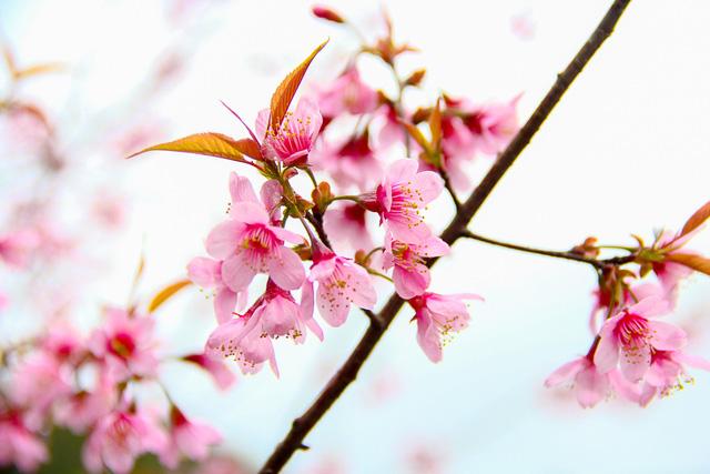 Cận cảnh những cành hoa Mai anh Đào