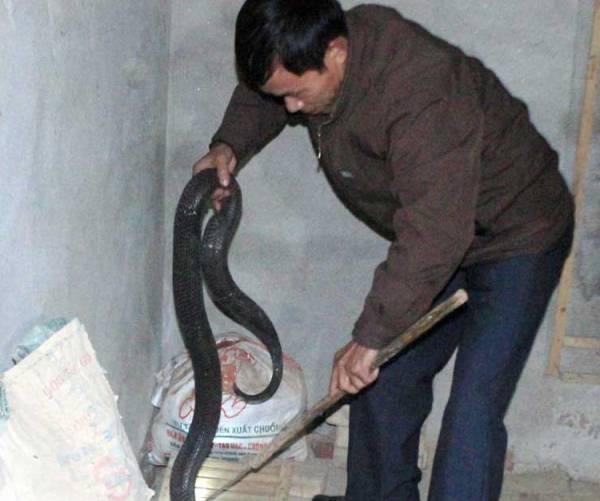 Mỗi hộ dân có nuôi rắn hổ mang bành ở Bạch Lưu đều có trong nhà ít nhất vài trăm con rắn. Cả xã có hơn 600 hộ thì có đến 1/3 làm nghề nuôi rắn hổ mang bành. Một số ít hộ còn nuôi cả rắn hổ trâu và nhiều loại rắn khác - Ảnh: VNN.
