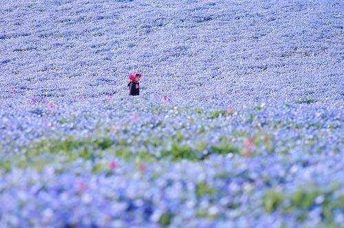 Ghé thăm vườn hoa màu xanh ở Nhật Bản - 6