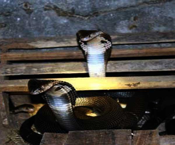 Tuy nhiên, với những người chuyên nuôi rắn hổ mang bành ở Bạch Lưu thì