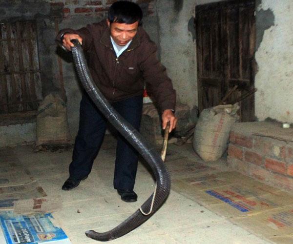 Hiện nay, những người dân ở Bạch Lưu chủ yếu nuôi rắn từ khi mới nở trứng để tránh những xung đột với các con rắn lạ và tiện cho việc chăm sóc, vệ sinh hơn