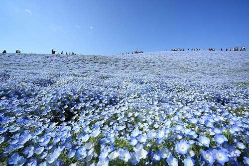 Ghé thăm vườn hoa màu xanh ở Nhật Bản - 8