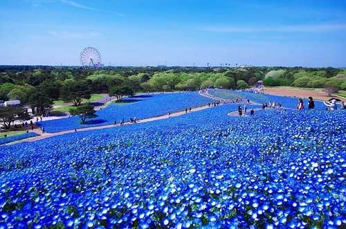 Ghé thăm vườn hoa màu xanh ở Nhật Bản - 2