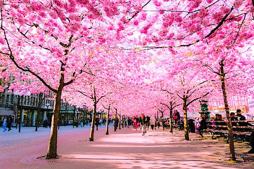 Vườn hoa anh đào vào mùa xuân ở Nhật Bản. Là quốc hoa của đất nước mặt trời mọc, hoa anh đào còn tượng trưng cho tinh thần võ sĩ đạo bất khuất của dân tộc Nhật Bản.