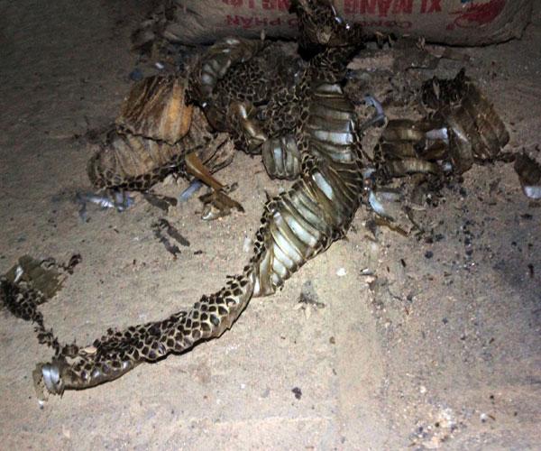 Xác một con rắn hổ mang bành đã lột