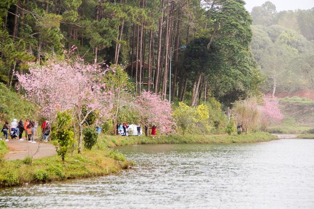 Hàng trăm lượt người về ngắm vườn hoa anh đào trên Măng Đen