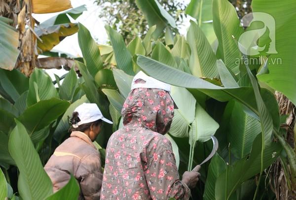 Về nơi hiếm hoi ở Hà Nội trồng lá dong gói bánh chưng kiếm cả trăm triệu dịp Tết 3