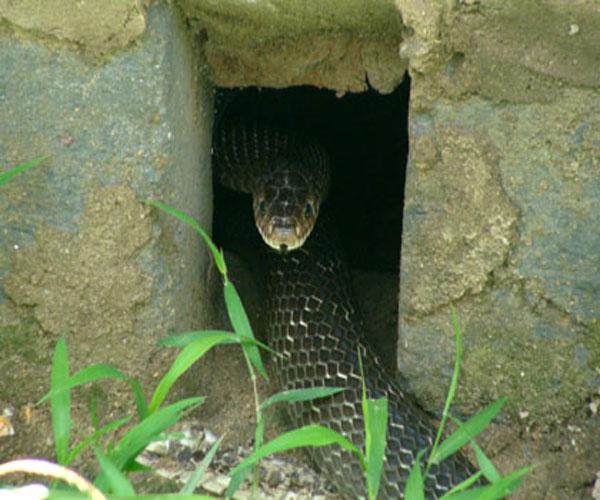Nghề nuôi rắn mang lại hiệu quả kinh tế cao nên hiện nay mô hình nuôi rắn đang lan rộng trên khắp cả nước