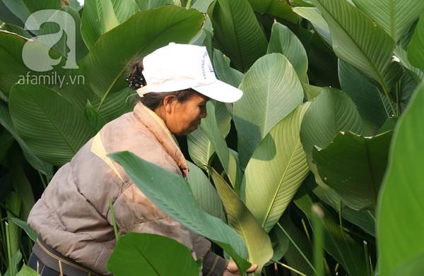 Về nơi hiếm hoi ở Hà Nội trồng lá dong gói bánh chưng kiếm cả trăm triệu dịp Tết 1