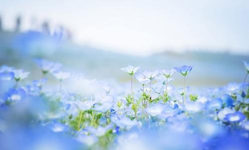 Ghé thăm vườn hoa màu xanh ở Nhật Bản - 7