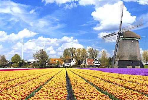 Đồng hoa tulip ở Hà Lan. Đây cũng là quốc hoa của đất nước châu Âu xinh đẹp vốn nổi tiếng với ngành công nghiệp trồng hoa hàng đầu thế giới.