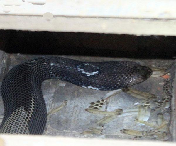Với những con rắn hổ mang bành dữ tợn với cái đầu cứng như đá thi thoảng vẫn húc tung cả nắp chuồng bằng gỗ nên những người nuôi rắn ở Bạch Lưu lúc nào cũng đề cao cảnh giác