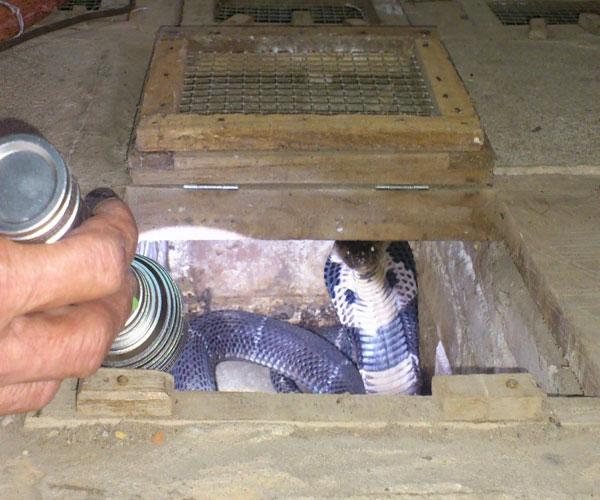 Hay Làng Sổ (Mai Đình, Hiệp Hòa, Bắc Giang) cũng nuôi rất nhiều rắn hổ mang để phát triển kinh tế