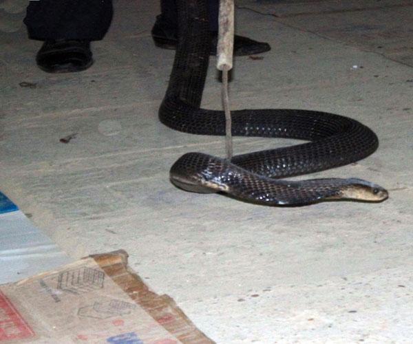 Nghề nuôi rắn hổ mang bành mang lại nguồn tài chính rất lớn cho nhiều hộ dân ở đây