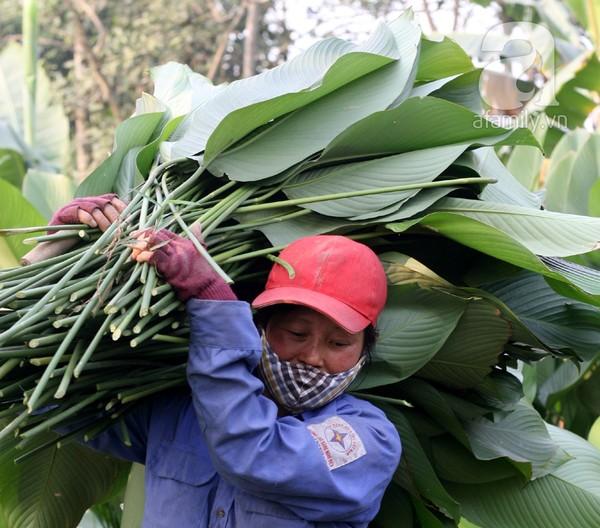 Về nơi hiếm hoi ở Hà Nội trồng lá dong gói bánh chưng kiếm cả trăm triệu dịp Tết 2