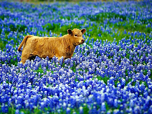 Đồi hoa bluebonnet ở bang Texas (Mỹ). Đây cũng là loài hoa được chọn làm biểu tượng cho bang Texas từ năm 1901,