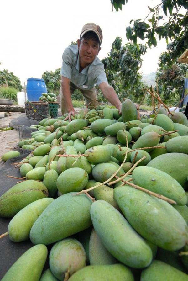 Hiện nay, gia đình đang kêu thương lái đến thu hoạch xoài Đài Loan giá 5.500-6.000 đồng/kg (loại tốt) còn giá xoài ghép bưởi chỉ còn 3.000 đồng nhưng họ còn chê không mua. Đành phải bóp bụng, bán hết cả vườn giá 4.500 đồng/kg.