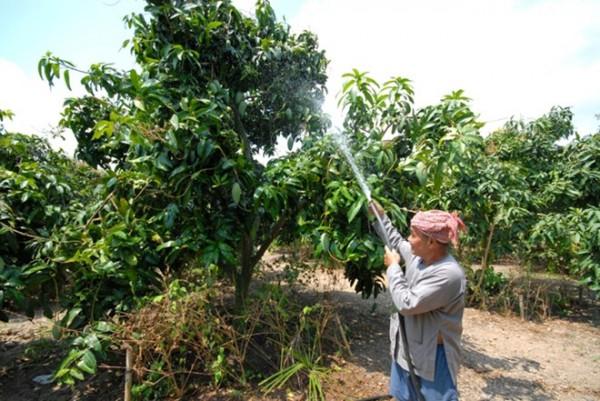 Đứng trước tình cảnh giá xoài giảm mạnh, nhiều nhà vườn trồng xoài ở miền Tây điêu đứng.