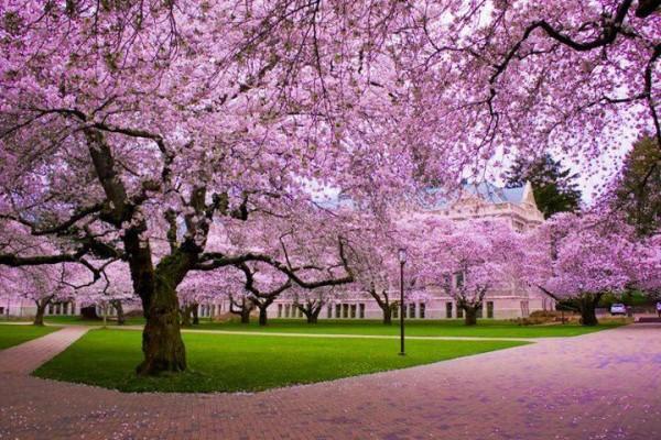 Sắc tím hồng nhạt của hoa sakura luôn được xem là nét đẹp tình tứ nhất vào mùa xuân