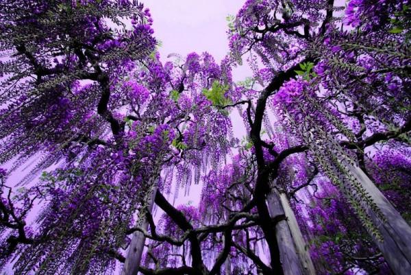 Màu tím hoa Fuji ở Nhật Bản đẹp đến mức làm xao lòng du khách