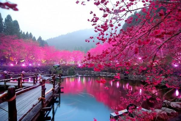 Với sắc tím hồng đậm, sakura vẫn khiến khung cảnh thơ mộng và diễm lệ như thế này