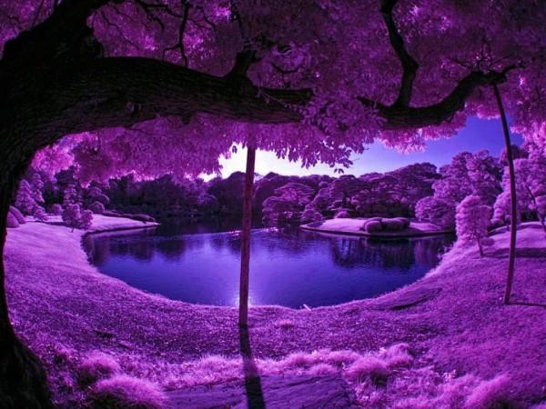 Một màu tím ngát trải dài ở một khu vườn Nhật Bản, khung cảnh đẹp như trên thiên đường