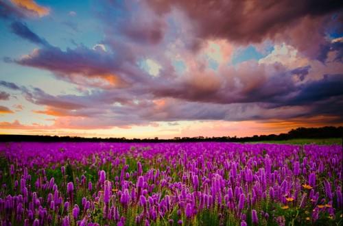 Cánh đồng hoa tím trải dài đến tận chân trời