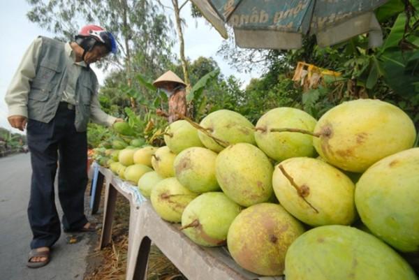 Giá xoài cát chu bán tại vườn ở xã Phú Hữu, huyện Châu Thành  -  Hậu Giang chỉ còn 3.000 đồng/kg loại I (3 trái/kg).