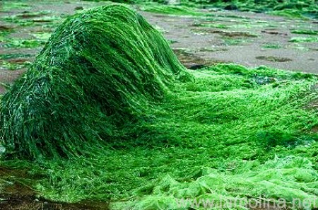 tảo biển